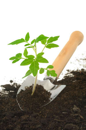agricultural tools: Tomato seedling on garden trowel, isolated on white