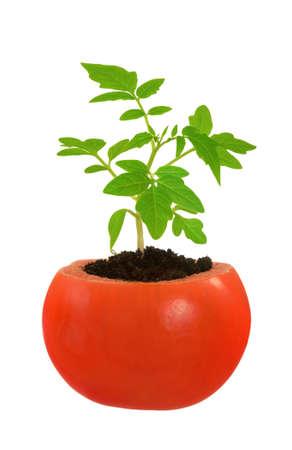 germinación: Crecimiento Joven planta de tomate, el concepto de evolución, aislado en blanco
