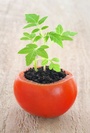 growing inside: Young tomato plant growing, evolution concept Stock Photo