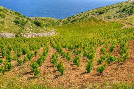 Vineyards, southern coast of Hvar island, west of Sveta Nedjelja, Croatia Stock Photo - 16279624
