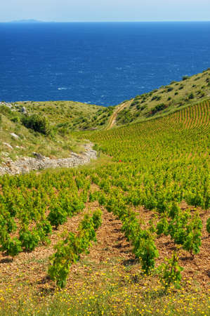 Vineyards, southern coast of Hvar island, west of Sveta Nedjelja, Croatia Stock Photo - 16279598
