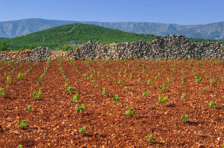 New vineyards, north of Hvar island, Croatia photo