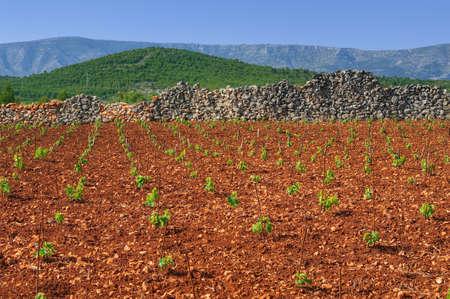 drystone: New vineyards, north of Hvar island, Croatia