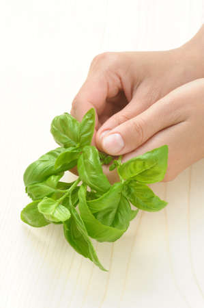 Basil, hands of young woman holding fresh herbs Stock Photo - 17041125