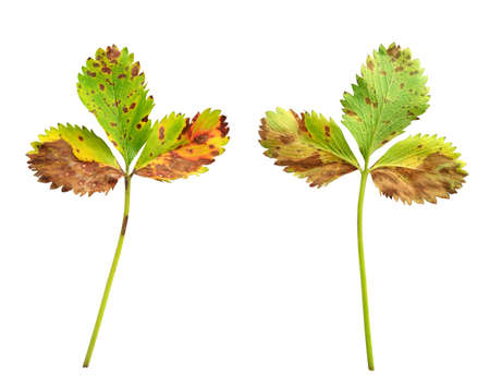 lesions: Strawberry leaf with the fungal disease, leaf scorch caused by Diplocarpon earlianum