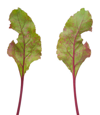 necrosis: Infection of beetroot leaf by Cercospora beticola