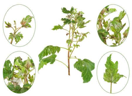 diseased: Infection of black currant by grey mould, Botrytis cinerea, Botryotinia fuckeliana Stock Photo