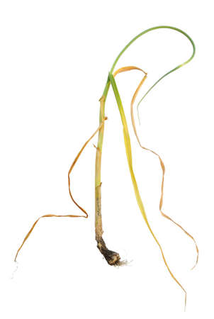 bulb and stem vegetables: Infection of garlic by white rot, Sclerotium cepivorum