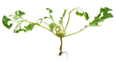 Slug damage of green kohlrabi, isolated photo