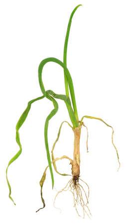 atacaba: Cebolla atacado por cebolla contra el nematodo dorado, Ditylenchus dipsaci