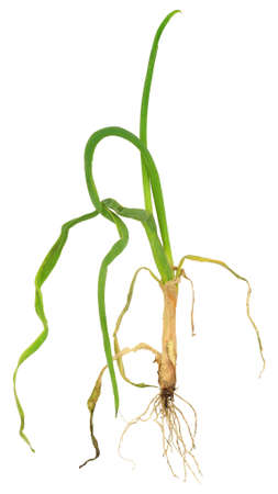 bulb and stem vegetables: Onion attacked by onion eelworm, Ditylenchus dipsaci