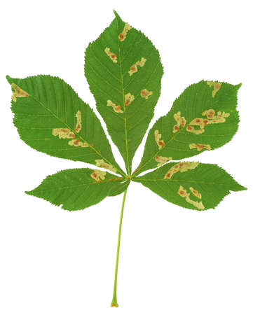 attacked: Leaf of chestnut tree attacked by horse-chestnut leaf miner, Cameraria ohridella Stock Photo