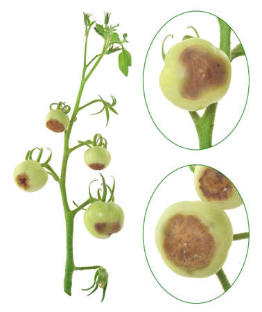 Blossom end rot of tomato - Calcium deficiency - plant disorder Stock Photo