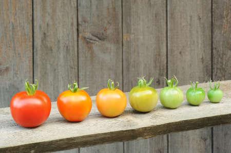 evolucion: Evolución de tomate rojo - proceso de la fruta madura - etapas de desarrollo Foto de archivo