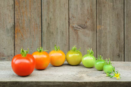 ripening: Evolution of red tomato - maturing process of the fruit - stages of development