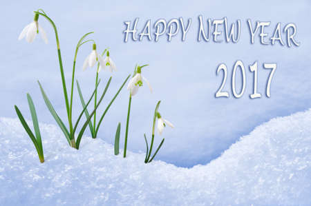 snowdrops: New Year 2017 greeting card, group of snowdrops Happy New Year text in English language