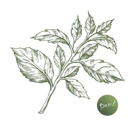 바 벡터 드로잉. 격리 된 바질 잎. 허브 새겨진 스타일 그림. 매운 성분 요리 일러스트