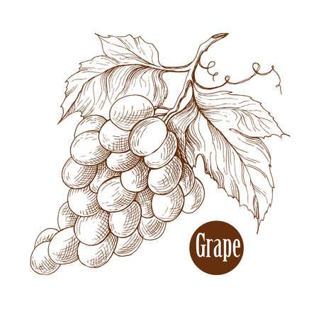grape vines: Grape vine branches ornament vector illustration. Engraving style. Illustration