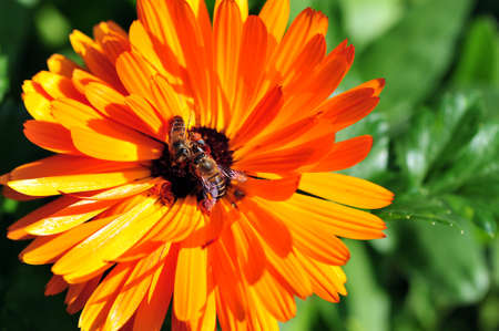 Bee on the flower photo