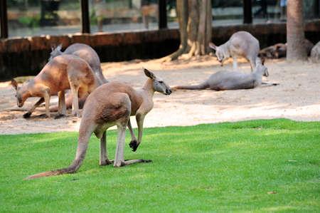 Kangaroo 版權商用圖片