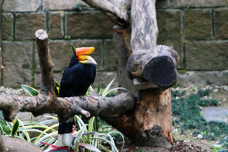 strikingly: Rhinoceros Hornbill