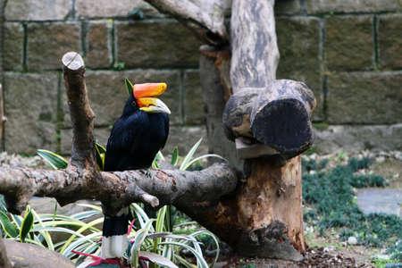 hornbill: Rhinoceros Hornbill