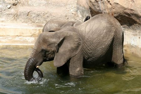 An elephant takes a bath