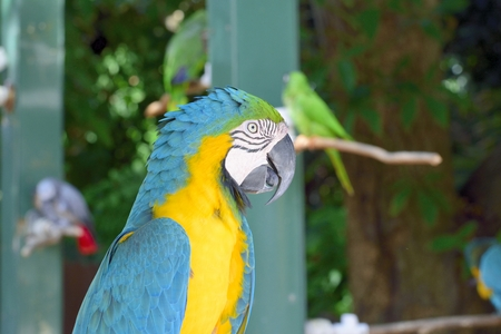 ararauna: Blue-and-yellow macaw(Ara Ararauna)