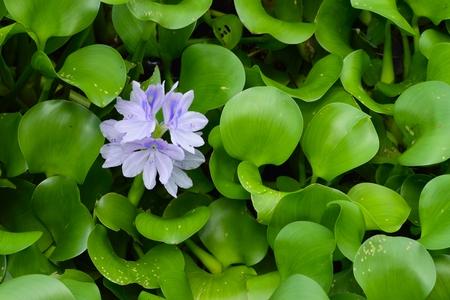 nymphaeaceae: Purple water Lily (Nymphaeaceae) in full bloom