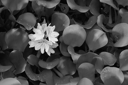 nymphaeaceae: water Lily (Nymphaeaceae) in full bloom