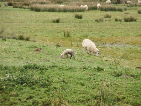 ovine: new lamb Stock Photo
