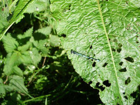 damisela mosca azul Foto de archivo - 4895440