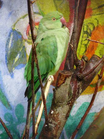 green parakeet Stock Photo
