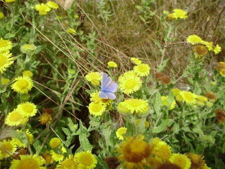 Mariposa azul com�n