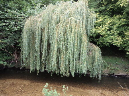 hanging willow