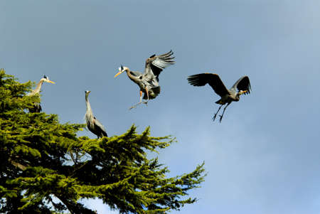 Great blue herons perch in the sun on Vancouver Island, British Columbia, Canada