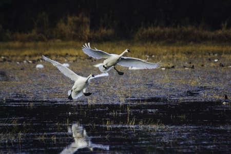 cygnus buccinator: Trumpeter swans winter on Vancouver Island, British Columbia, Canada. Stock Photo