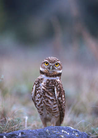 An endangered burrowing owl in the Okanagan region of British Columbia, Canada