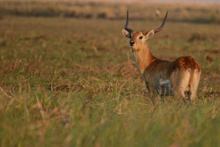 A view of a water buck in the grasslands by the Chobe River in Botswana, Africa 版權商用圖片