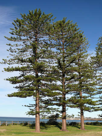 Norfolk Island pines on the beach at North Wollongong