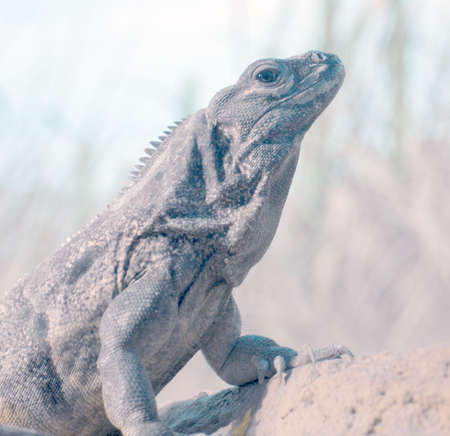 cold blooded: crouching iguana