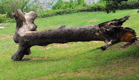 old dead tree