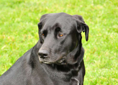 black labrador portrait Stock Photo