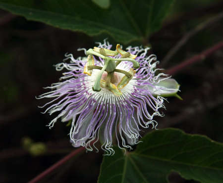 stamin: anemone flower Stock Photo