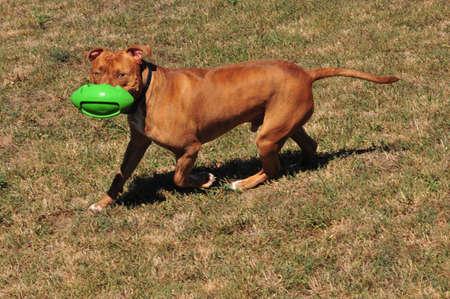 pit bull at play