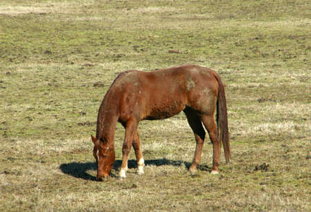 brown horese grazing in a pasture