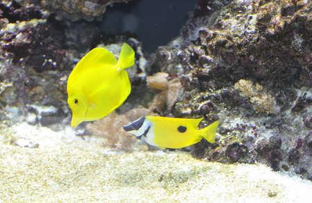 peces tropicales amarillo Foto de archivo - 4563304