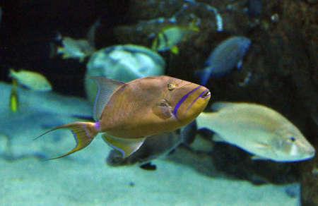 trigger fish: trigger fish