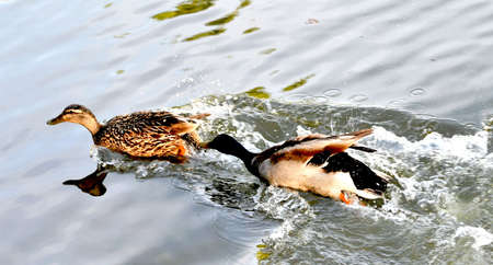 mallard chasing female duck