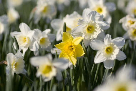Single yellow daffodil surrounded by field of white daffodils. Stock Photo